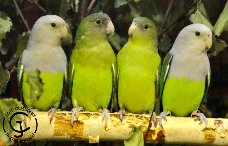 Four Grey-headed Lovebirds on a branch.