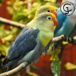 Fåglarna är färgmutationer av Rödhuvad dvärgpapegoja.